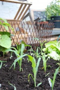 sweetcorn lategrowing